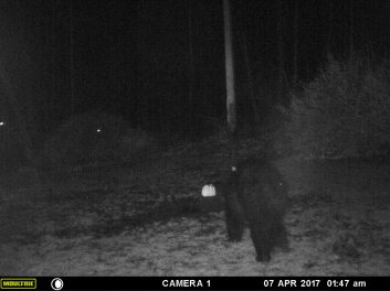 MR BEAR IS GETTING SOMETHING TO EAT.