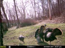 DESPITE THE MALE TURKEY SHOWING OFF FOR THE GIRLS, THEY DON'T WANT ANYTHING TO DO WITH THEM.