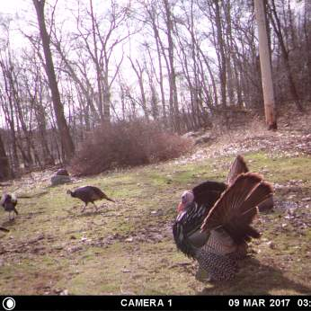 SIDE VIEW OF MR. TURKEY WHILE HE SHOWS OFF FOR THE GIRLS.