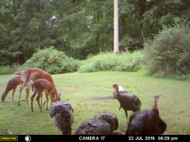 DEER EATING WITH THE TURKEY.