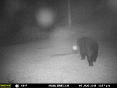 MR. BLACK BEAR GOING TO GET SOMETHING TO EAT IN THE FOG.