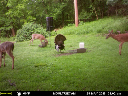 MR. TURKEY IS MORE INTERESTED IN SHOWING OFF THAN EATING.
