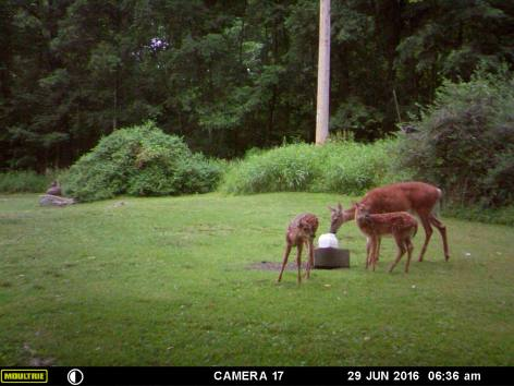 MAMA DEER WITH HER TWIN FAWNS.