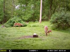MOTHER DEER WITH HER BABY FAWN AND ANOTHER DEER ARE THERE TO EAT.