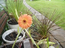 MY GERBERA DAISY THAT SURVIVED THE WINTER.