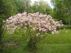 OUR PINK DOGWOOD TREE IN FULL BLOOM.