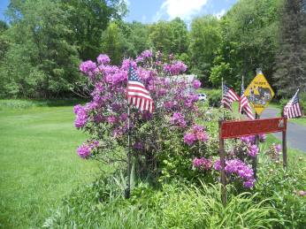 RHODODENDRON BUSH ON MEMORIAL DAY.