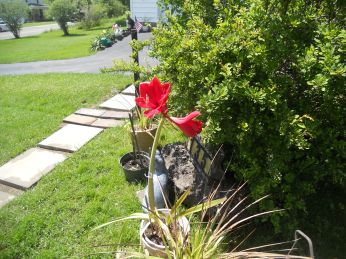 AMARYLLIS IN BLOOM FROM THIS YEAR.