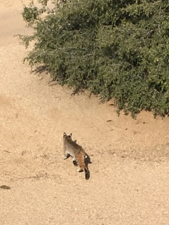 A BOBCAT TAKING A WALK.