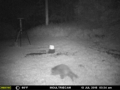 A RACCON COMING FOR HIS BEDTIME SNACK.