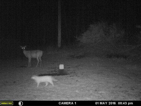 A DEER AND A CAT.