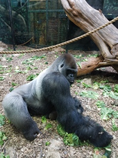 GORILLA AT KENTUCKY ZOO.