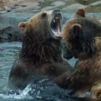 KODIAK BEARS AT KENTUCKY ZOO.