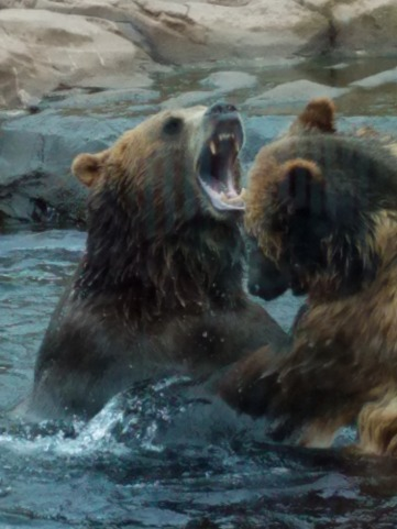 KODIAK BEARS AT KENTUCKY ZOO.