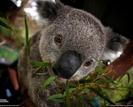 cute-koalas-in-trees-wallpaper-2