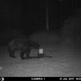 """""""BIG DADDY"""" BEAR AT THE SALT LICK GETTING HIS BEDTIME SNACK."""