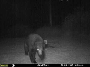 """BIG DADDY"" BEAR WALKING TOWARD THE CAMERA FOR HIS CLOSE UP."