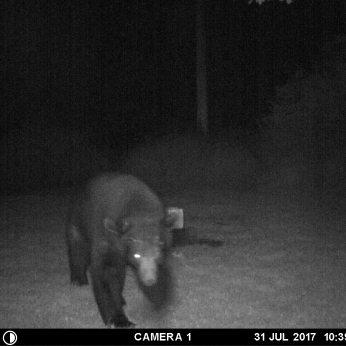 """""""BIG DADDY"""" BEAR WALKING TOWARD THE CAMERA FOR HIS CLOSE UP."""
