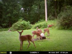 MAMA DEER AND HER 5 FAWNS.