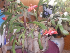 THE CHRISTMAS CACTUS AFTER IT HAS BLOOMED.