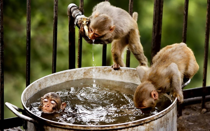 funny-wallpaper-with-monkeys-and-water-hd-monkey-wallpapers
