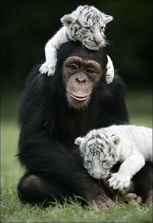 baby white tiger 1