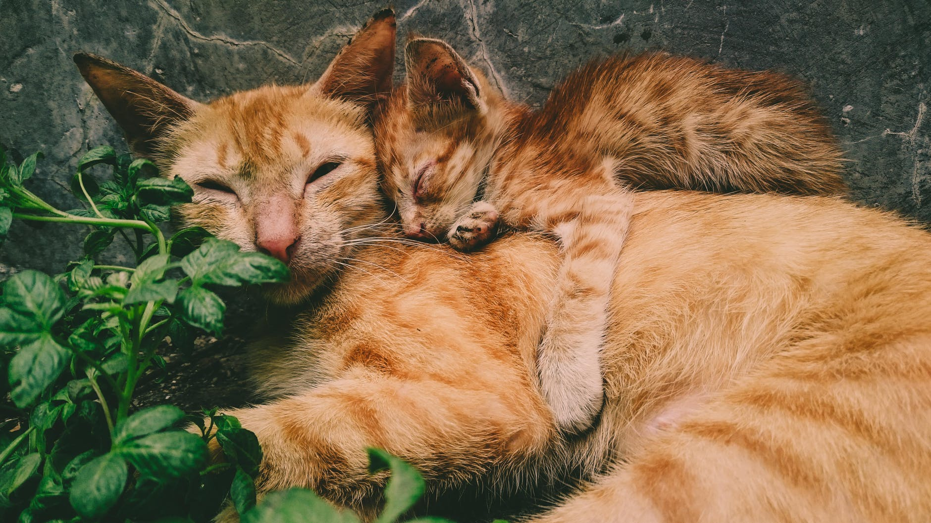 orange tabby cat and kitten