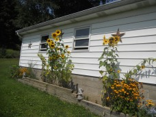 A PICTURE OF SUNFLOWERS AND BROWN-EYED SUSANS ON FULL ZOOM.