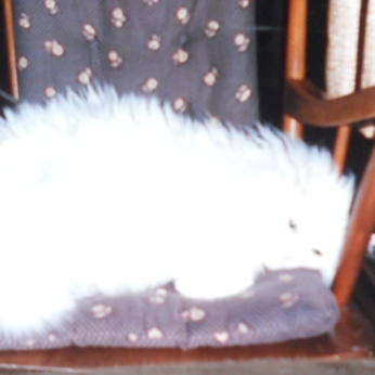 SNOWBALL MAKING HERSELF FIT ON THE ROCKING CHAIR.